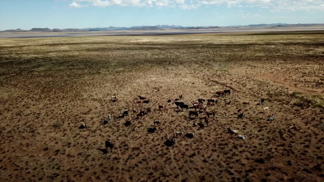 cattle on a prairie, free state, south africa - arid stock videos & royalty-free footage
