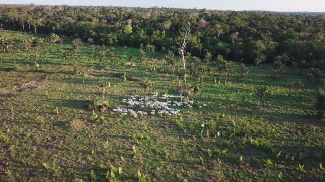 cattle on deforested land was all shot in the amazon state of rondonia, mostly around união bandeirantes, jaci parana and porto velho. - cattle stock videos & royalty-free footage