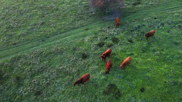 vídeos y material grabado en eventos de stock de bovino sobre hierba - grupo de animales