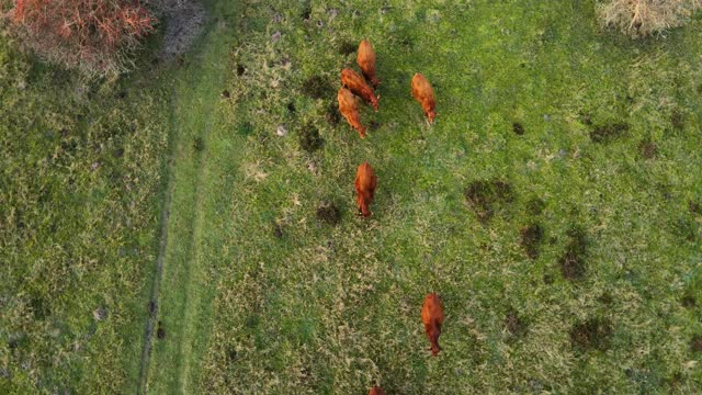 cattle on grass - cattle stock videos & royalty-free footage