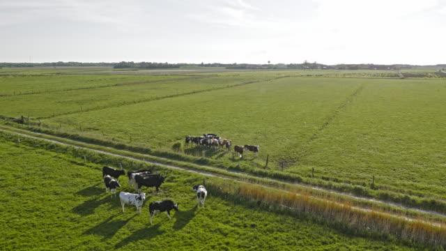 AERIAL Cattle on green marsh pastures in sunshine