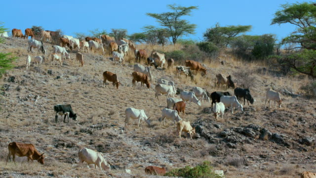 cattle on hillside samburu  kenya  africa - bovino video stock e b–roll