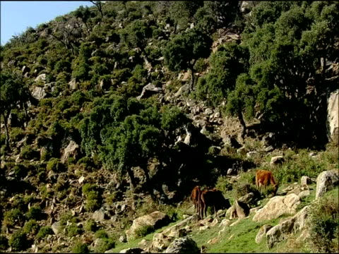 cattle (bos taurus) on rocky slope, autumn, parque natural los alcornocales, andalusia, southern spain - last stock videos & royalty-free footage
