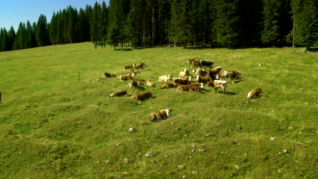 HD: Cattle On The Plateau Of Pokljuka