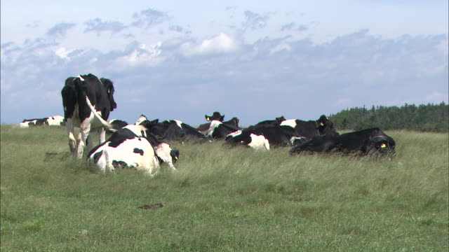 Cattle rest in the swaying grass on a plain.