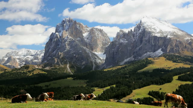 ws cattle resting in an alpine meadow below snow-capped peak / italy - peter snow stock videos & royalty-free footage