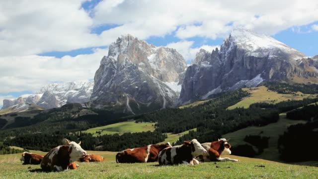 vídeos de stock, filmes e b-roll de ws cattle resting in an alpine meadow below snow-capped peak / italy - peter snow