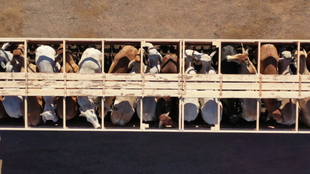 cattle road train - cattle stock videos & royalty-free footage