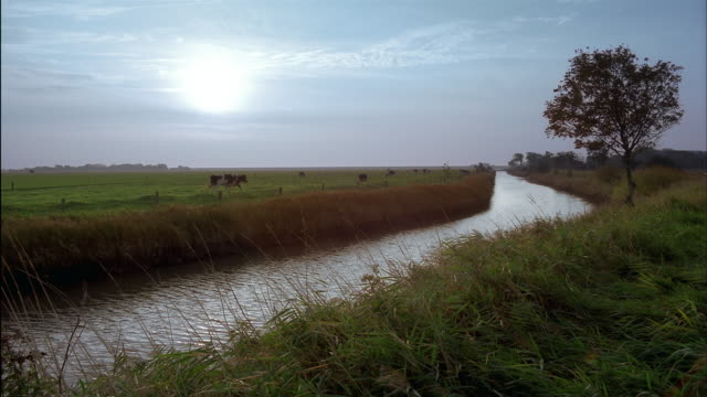 Cattle run in a green pasture near a canal in Schleswig-Holstein, Germany.