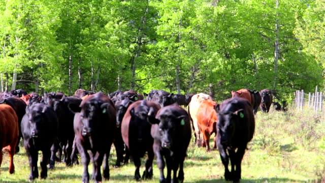 Cattle running through holding field