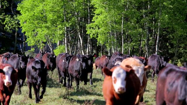 bovino in esecuzione attraverso un campo di tenuta - vacca video stock e b–roll