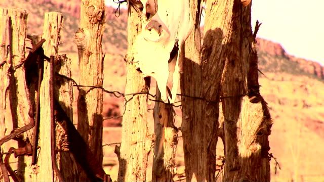 cattle skull - hovdjur bildbanksvideor och videomaterial från bakom kulisserna