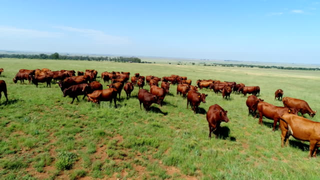 cattle/ south africa - livestock stock videos and b-roll footage