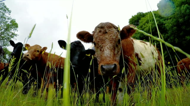 cattle standing in pasture - 20 seconds or greater stock videos & royalty-free footage