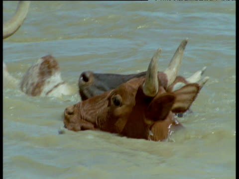 cattle swim across muddy river, mali - nutztier oder haustier stock-videos und b-roll-filmmaterial
