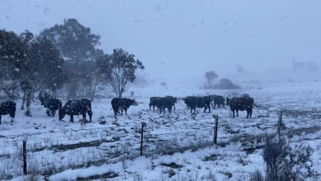 cattle take shelter as a blizzard impacts a heavily bushfire damaged area near adaminaby on august 22, 2020 in old adaminaby, australia. a front of... - australian alps stock videos & royalty-free footage