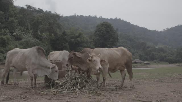 vidéos et rushes de cattle / thailand - plaque de montage fixe