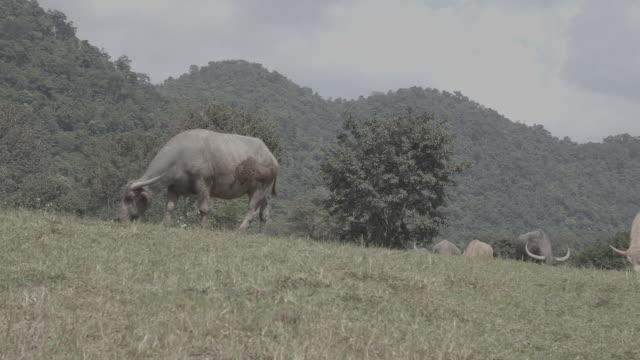 stockvideo's en b-roll-footage met cattle / thailand - dierlijk gedrag