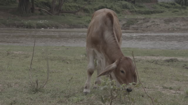 cattle / thailand - herbivorous stock videos & royalty-free footage