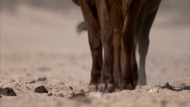 Cattle trudge across a dry, dusty plain. Available in HD.