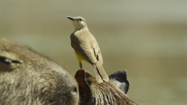 Cattle tyrant (Machetornis rixosa) sings perched on head of Capybara (Hydrochoerus hydrochaeris).