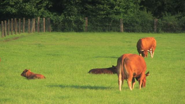 stockvideo's en b-roll-footage met cattle - vier dieren