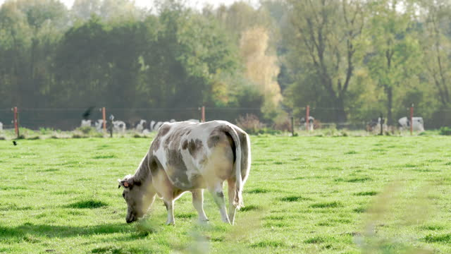 cattle - cow stock videos & royalty-free footage