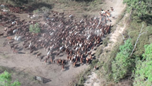 cattle - herding cattle stock videos & royalty-free footage