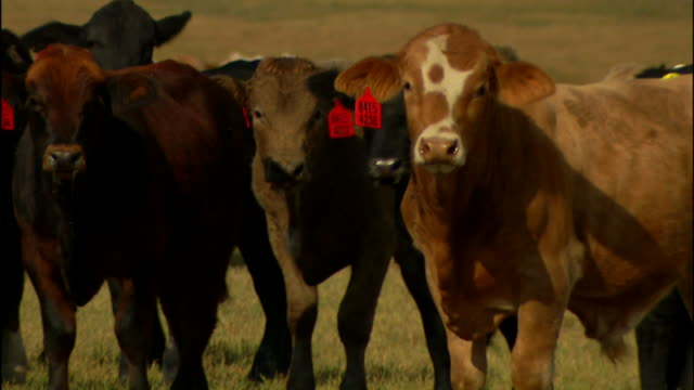 cattle w/ red tags in their ears standing & walking on green/brown pasture, slight livestock, cows, bovine, bulls, steer, domesticated, working... - working animal stock videos & royalty-free footage