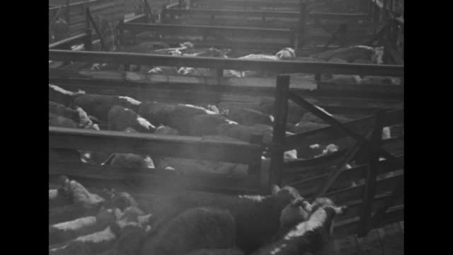 vídeos y material grabado en eventos de stock de cattle walk away as they move in aisle of stockyard other cattle stand in pens nearby man on horse and man standing on pen rail watch / cattle move... - cercamiento