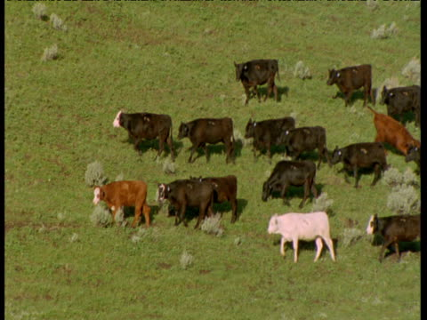 cattle walk by on hillside, montana - animale da lavoro video stock e b–roll