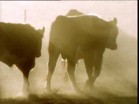 stockvideo's en b-roll-footage met cattle walk past on dusty ranch in outback, alice springs, australia - ranch