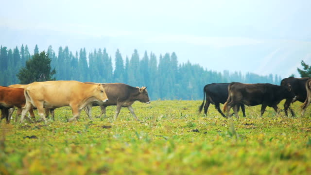 cattle walking on grassland - cattle stock videos & royalty-free footage