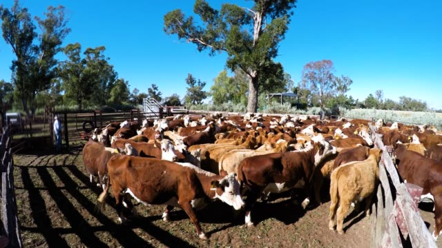Cattle yard and muster of grass fed beef cattle heifers