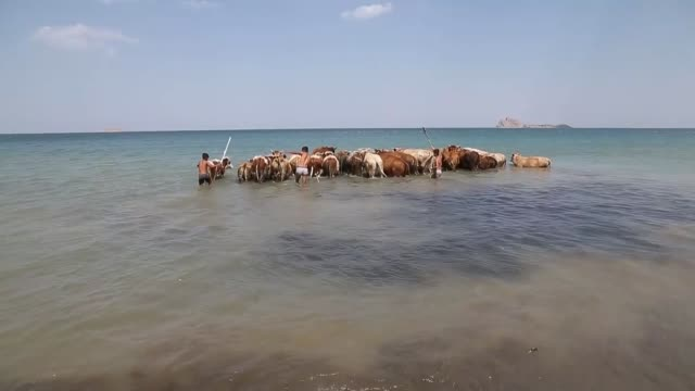 cattles are brought into van lake by child shepherds to cool them off and cleaned during a hot summer day in turkey's van province on september 7 2017 - lake van stock videos and b-roll footage