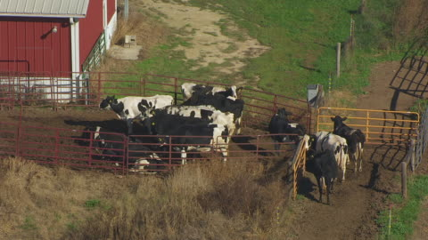ws aerial pov cattles grazing at campus dairy cattle research center, barn and grain elevators in background / columbia county, wisconsin, united states - columbia center stock-videos und b-roll-filmmaterial