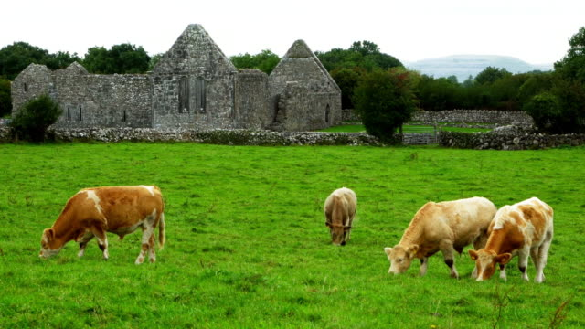 vídeos de stock e filmes b-roll de cattles grazing in front of ruined irish monastery cinemagraph - irlanda