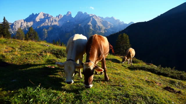 cattles grazing in high mountain pasture cinemagraph - pascolare video stock e b–roll