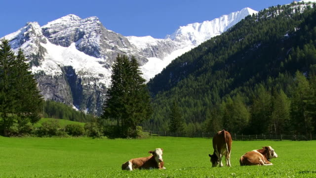 cattles grazing in high mountain valley cinemagraph - alpi video stock e b–roll