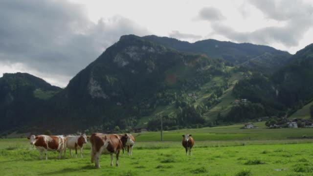 ws cattle's in austrian landscape / mayrhofen, zillertal, austria - herbivorous stock videos & royalty-free footage