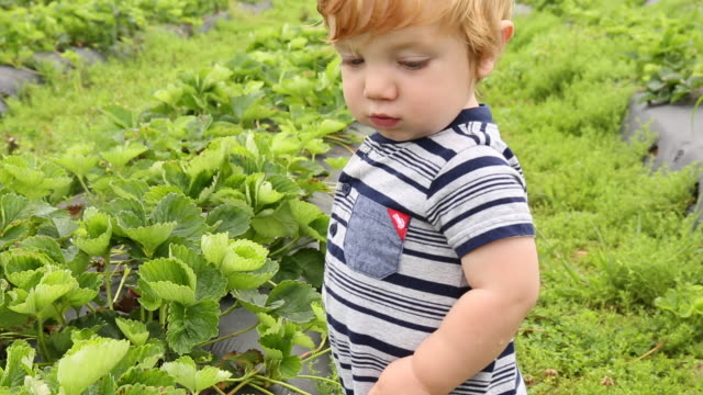 vidéos et rushes de caucasian baby boy picking strawberries in field - cueillir