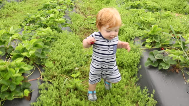 Caucasian baby boy walking in strawberry field then pan to brother