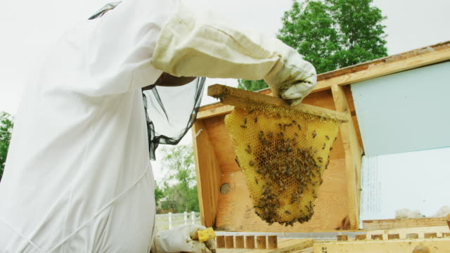 vídeos de stock e filmes b-roll de a caucasian beekeeper in his thirties wearing a beekeeping hat, a veil, and gloves removes a frame from a beehive outdoors - glove
