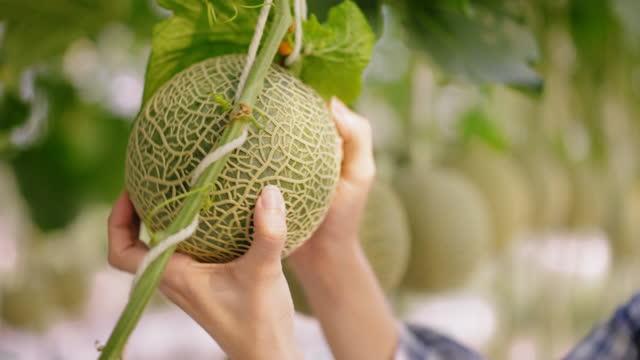 コーカサスブルーカラーの労働者の手は、製品の品質をチェックするための温室で有機日本のメロンの果物を病気や害虫をチェックするための手を触ります。 - グリーンハウス点の映像素材/bロール