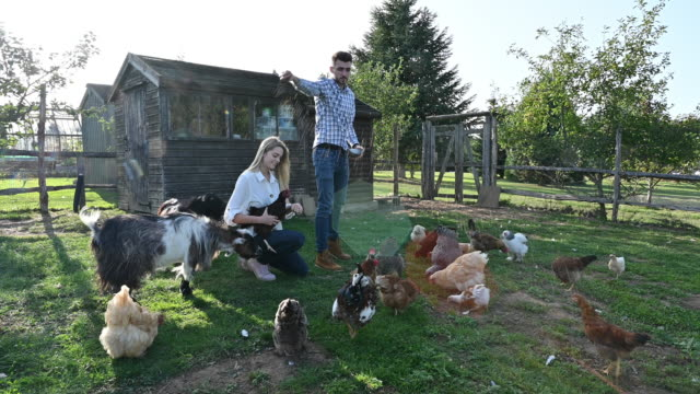 caucasian couple in early 20s caring for chickens and goats - chicken coop stock videos & royalty-free footage