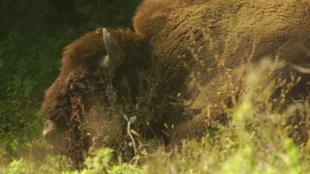 caucasian wisent (bison bonasus caucasicus) - iucn red list stock videos & royalty-free footage