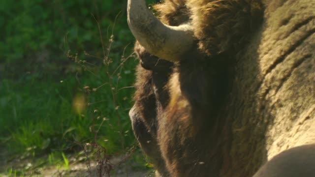 kaukasische wisent (bison bonasus caucasicus) - amerikanischer bison stock-videos und b-roll-filmmaterial