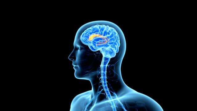 caudate nucleus of the brain - biomedizinische illustration stock-videos und b-roll-filmmaterial