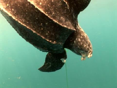 Caught Leatherback turtle (Dermochelys coriacea) hanging in water, Kei Islands, Indonesia