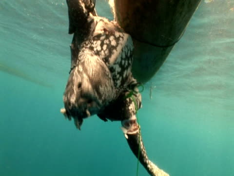 Caught Leatherback turtle (Dermochelys coriacea) held next to boat, zoom in, Kei Islands, Indonesia